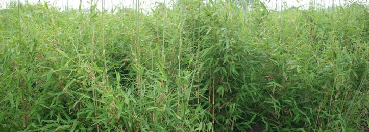 Bambus Fargesia Kaufen Gunstig Auf Garmundo