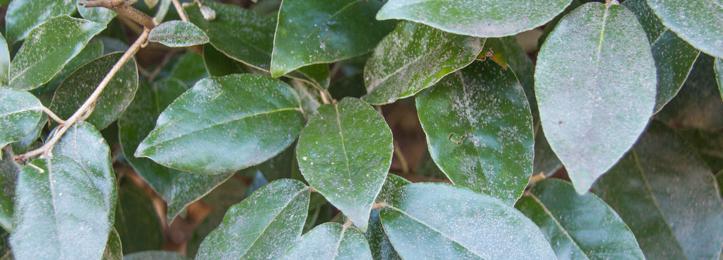 Wintergrüne Ölweide