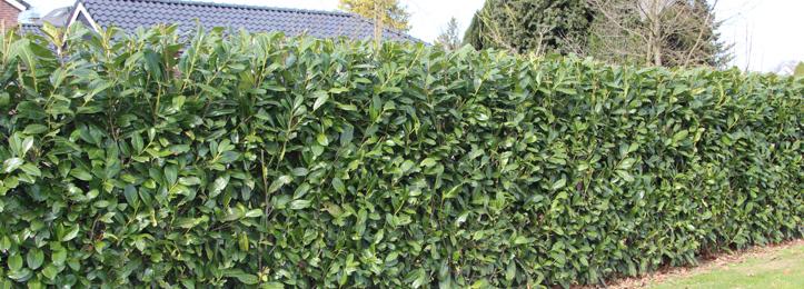 Kirschlorbeer Hecke Schneiden lorbeerhecke kirschlorbeer prunus laurocerasus etna schneiden