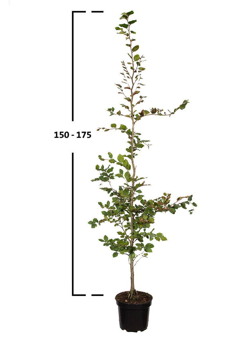 Rotbuche, Gemeine Buche (Fagus sylvatica)