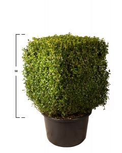 Buchsbaum Quader 50h x 40 x 40 cm