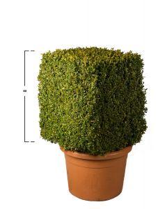Buchsbaum Quader 60h x 50 x 50 cm