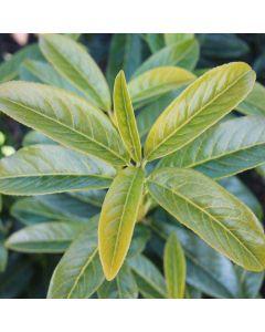 Kirschlorbeer Genolia ®