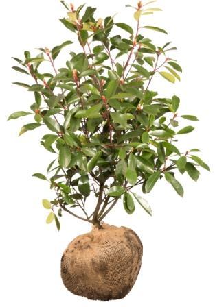 Heckenpflanzen mit Wurzelballen